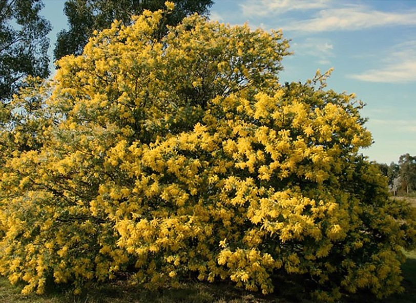 Black Wattle Tree Totally Tarawera